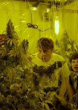 Kid Cannabis