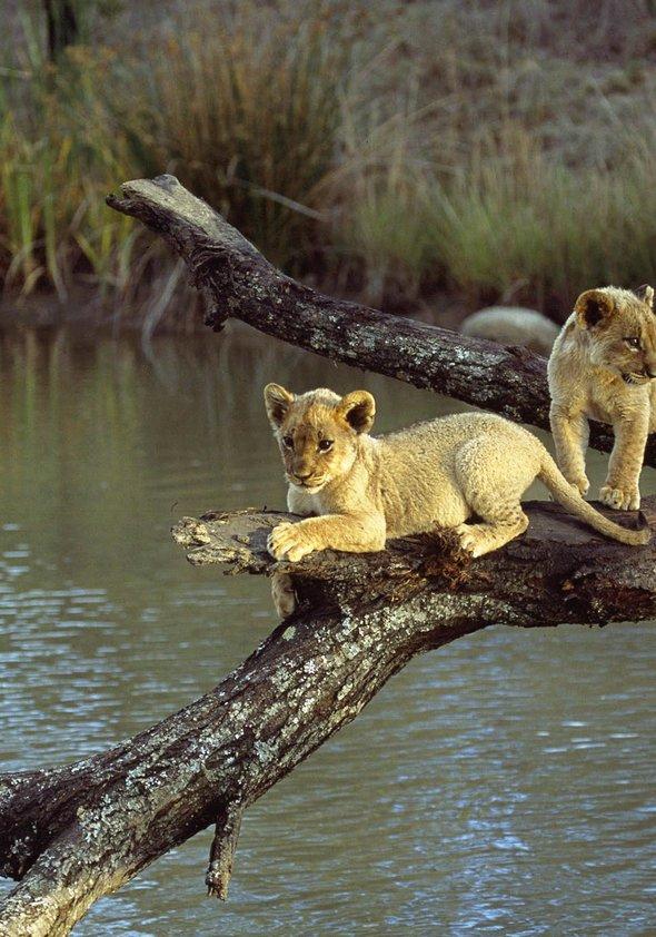 Pride - Das Gesetz der Savanne Poster