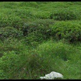 Teeplantage - Szene