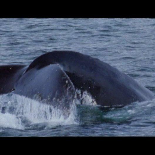 Nachwuchs bei den Buckelwalen - Szene Poster