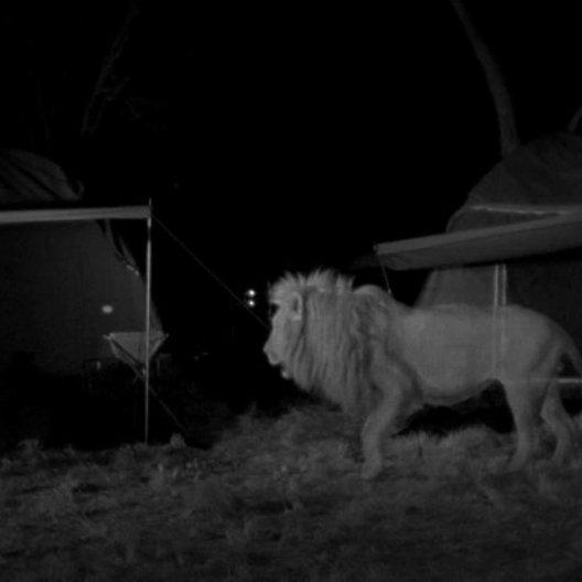 Löwenbesuch - Szene