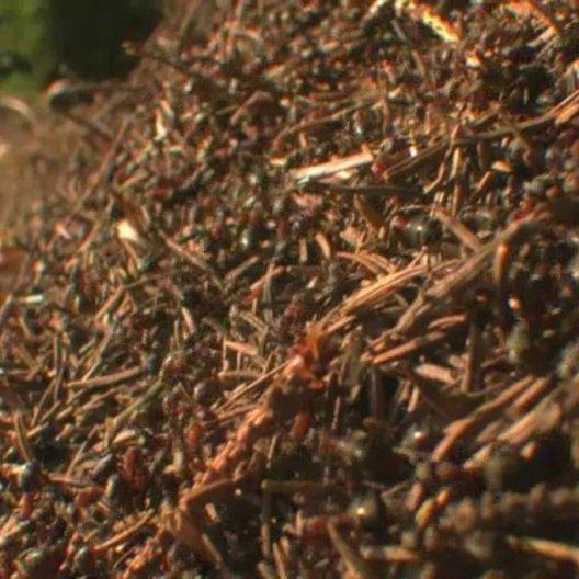Ameisenhaufen - Szene Poster