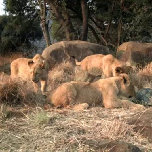 Neugierige Löwenbabies - Szene Poster