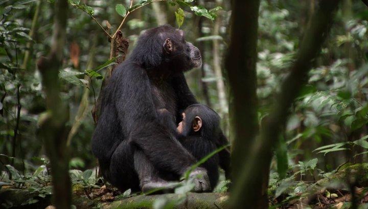 Schimpansen - Trailer Poster