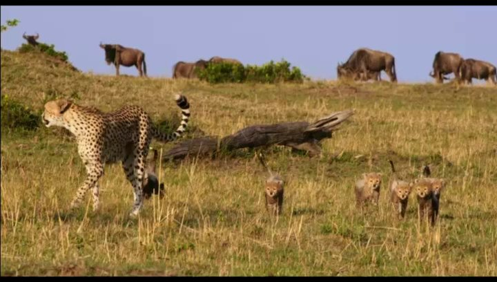 Gefahr für Geparden - Szene Poster